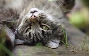 Картинка кошка, глаза, кот, усы, серый, фон, уши, травинки