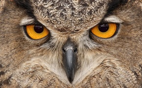Обои клюв, глаза, птица, сова
