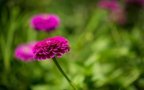Картинка цветок, листья, розовая цинния