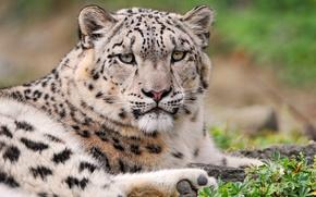 Картинка ирбис, снежный леопард, хмурый