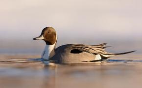 Картинка lake, duck, wildlife, ripples, northern pintail, anas acuta