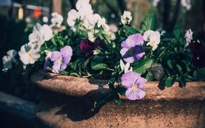 Картинка цветы, яркий, природа, парк, фото, нежный, темный, насыщенный, лепестки, горшок, анютины глазки