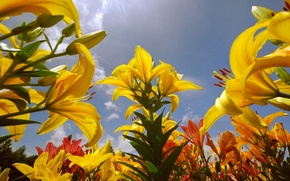 Картинка sky, flowers, lily