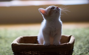 Картинка котёнок, корзинка, Hannah, © Benjamin Torode