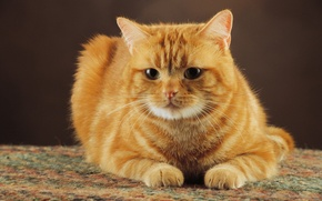 Картинка кот, рыжий, cat