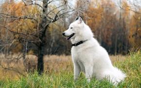 Картинка друг, собака, хаски