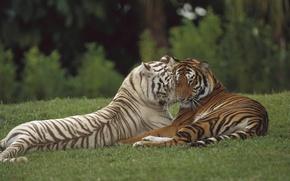 Картинка любовь, хищник, пара, тигры, дикая кошка