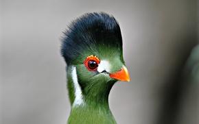 Картинка глаза, птица, перья, клюв, турако