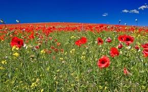 Картинка поле, небо, трава, цветы, холмы, маки, луг