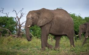 Картинка трава, природа, слон