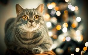 Картинка боке, взгляд, желтый, cat, кот