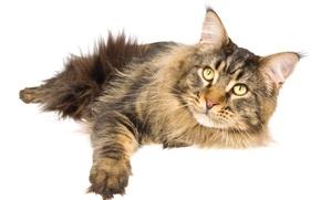 Картинка кошка, кот, белый фон, мейн-кун