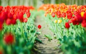 Картинка листья, цветы, красный, зеленый, фон, обои, тюльпаны, wallpaper, широкоформатные, flowers, background, полноэкранные, HD wallpapers, широкоэкранные
