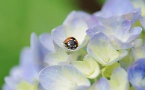 Обои макро, цветы, растение, божья коровка, жук, лепестки, светлые, насекомое, гортензия