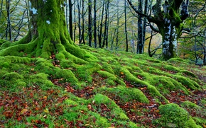 Обои деревья, корни, осень, мох, лес