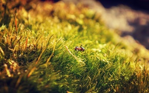 Картинка трава, макро, природа, муравей, nature