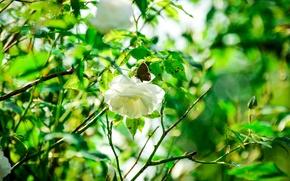 Картинка лето, солнце, бабочка, роза, лепестки, сад