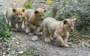 Картинка кошка, детёныш, котёнок, львята, трио, львёнок, ©Tambako The Jaguar