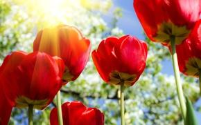 Картинка солнце, цветы, тюльпаны