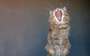 Картинка язык, кошка, усы, фон, пасть, клыки, сидит, зевает