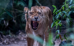 Картинка морда, злость, хищник, ярость, пасть, клыки, оскал, львица, агрессия, дикая кошка, рык, угроза