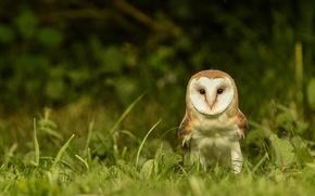 Картинка трава, взгляд, сова, птица, сипуха, обыкновенная сипуха