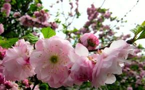 Картинка розовый, весна, Ветка, цветет
