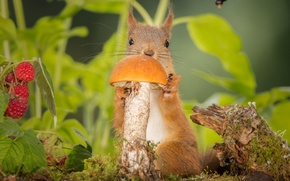 Обои листья, природа, ягоды, малина, животное, гриб, белка, зверёк, грызун