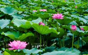 Картинка листья, озеро, лотосы, цветение, lake, leaves, Lotus blossom