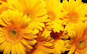 Обои цветы, фон, жёлтые, очень
