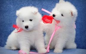 Картинка самоед, малыши, парочка, собаки, щенки