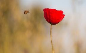 Картинка цветок, макро, мак, насекомое, обои от lolita777