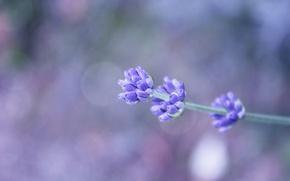 Картинка цветок, веточка, фон, сиреневый, боке, полевой