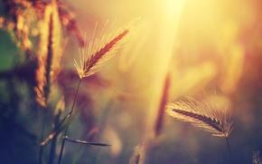 Обои макро, свет, колоски, размытость, растение, солнце, блики, трава