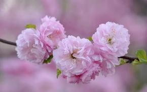 Картинка макро, розовый, ветка, сакура