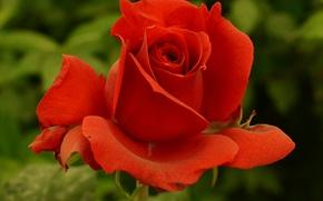 Картинка роза, red, красная, Rose
