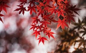 Картинка осень, листья, макро, ветка, клен