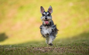 Картинка язык, трава, собака, бег, grass, dog, прыжки, jumping, лагерь, tongue, camp, running