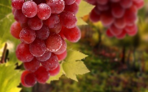 Обои листья, капли, виноград, гроздь