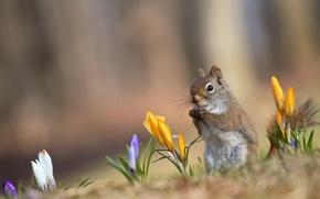 Обои весна. крокусы, желтые, рыжая, фон, белка, сиреневые, белые