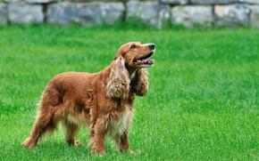 Картинка трава, собака, спаниэль, коккер спаниэль