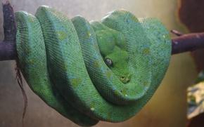 Картинка Змея, Красота, Опасность