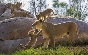 Картинка камни, котята, львы, львята, львица, материнство, детёныши