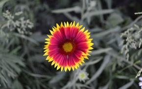 Обои цветок, лепестки, природа