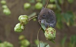 Картинка природа, животное, ветка, мышь, шишки, грызун, хмель