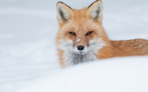Картинка зима, взгляд, морда, снег, лиса, рыжая