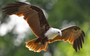 Картинка Eagle, sky, Bald