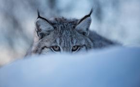 Картинка зима, глаза, морда, снег, рысь, дикая кошка