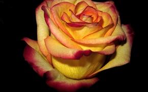 Картинка фон, темный, роза, Желтая, красные, края