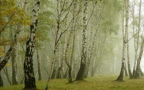Обои туман, трава, берёзы, природа
